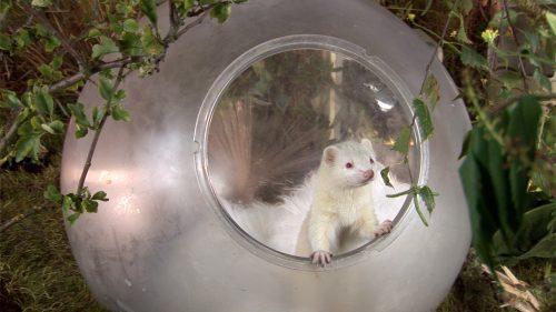 Resident Weasel
